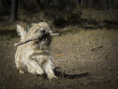 Cairn terrier (Fabi's Photography) Tags: cairn terrier chien dog