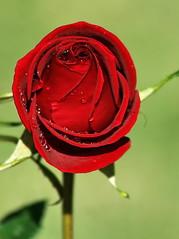 :) (Zéza Lemos) Tags: rosas rose rosa roseiras roseira flores flor flowers faro plantas pétalas planta jardim jardins jardineiro portugal vilamoura algarve