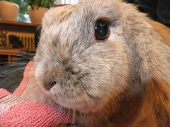 """""""Hi!"""" (eveliensbunnypics) Tags: bunny rabbit lop lopeared polly indoor inside house face closeup eye"""