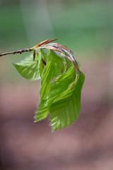 Promise of Spring      Meyer-Optik Trioplan 50mm F 2.9 (情事針寸II) Tags: bokeh triplet oldlens green nature feuilles leaves refit weltabelmira meyeroptiktrioplan50mmf29
