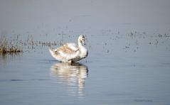 Young swan (yvonnepay615) Tags: panasonic lumix gh4 nature bird swan wwt welneywetlandtrust norfolk eastanglia uk coth coth5