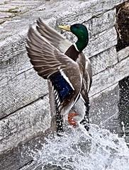 VERTICAL TAKE-OFF, ACA PHOTO (alexanderrmarkovic) Tags: mallard femalemallard duck acaphoto scarborough ontario canada scarboroughblufferspark