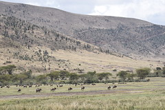 Wildebeest (Everyday Glory!!!) Tags: ngorongorocrater ngorongoro africa tanzania wildlife gamedrive safari lakemagadi africanbuffalo buffalo capebuffalo