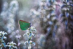 A dormir (Zagrillero) Tags: mariposas butterfly callophrysrubi verde naturaleza atardecer dormir insectos smileonsaturday butterflies