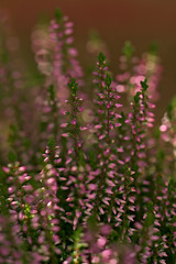 Heather Flower (pstenzel71) Tags: blumen natur pflanzen heather heatherflower besenheide callunavulgaris darktable flower bokeh