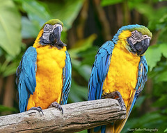 A pair of Blue and Yellow Macaws (Harry Rother) Tags: animal bird parrot color macaw blue yellow gold disney