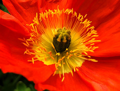 RIP, Bob Einstein. You were a Genius. (oybay©) Tags: macro suncitywest arizona poppies poppy flower flowers flora fiori blumen color colors nature natural spring blossoms bee explosion pollen