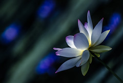 lost (Lost poems) Tags: story light color words blue green purple white lost lily water