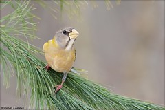 Evening Grosbeak Evergreen Grip (Daniel Cadieux) Tags: grosbeak eveninggrosbeak female pine evergreen yellow ottawa forest winterfinch