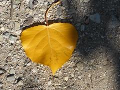 Alone!!  P1060645 (amalia_mar) Tags: lookingcloseonfriday yellow alone leaf autumn autumnleaves autumncolours sundaylights