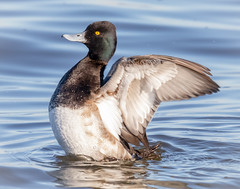 Stretching his wings (tresed47) Tags: 2019 201901jan 20190114marylandbirdsbb birds cambridge canon7dmkii content ducks folder january lesserscaup maryland peterscamera petersphotos places scaup season takenby us winter