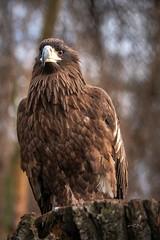 Giant Eagle (THW-Berlin) Tags: eagle birds animals tiere vögel adler natur sony alpha6500 sigma tierpark 135mm