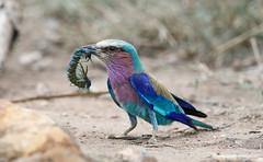 Lilac-breasted Roller -6363 (Theo Locher) Tags: birds coraciascaudatus gewonetroupant lilacbreastedroller oiseaux vogels vögel krugernationalpark kruger southafrica zuidafrika copyrighttheolocher bergendal