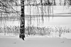 Impression (Stefano Rugolo) Tags: stefanorugolo pentax k5 pentaxk5 m42 jupiter37a impression winter monochrome snow birch tree water grass reeds lake ice branches coountryside manualfocuslens manualfocus manual vintagelens hälsingland sweden sverige depthoffield jupiter37a135mmf35 jupiter 37a