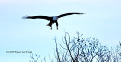Adult Bald Eagle (Trevdog67) Tags: adult american baldeagle eagle sheffieldmills novascotia canada bird birding raptor wildlife nature naturephotography naturelovers nikon sigma nikond7500 sigma150600mm gliding landing birdwatching