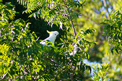Sulphur Crested Cockatoo (Bens-Lens) Tags: sunset beach water sky red flower nature blue night white tree green flowers portrait art light snow dog sun clouds sea ocean lake river pond donaldtrump pussy cloud bridge deer pacific