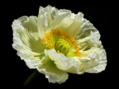 Night Flight ... (h.pregel) Tags: flower poppy petals springtime night darkness romance macro blossom blooming beauty