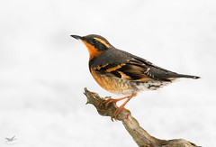 Varied Thrush III (dennis_plank_nature_photography) Tags: avianphotography thurstoncounty birdphotography naturephotography snow wa avian birds blind copse home littlerock nature