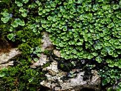 P1050948 (Hiker Bob) Tags: 20190220 bryophytes liverwort meanderthals sangabrielmountains sangabrielriver westfork