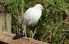 Ain't nuthin purtier than a pair of yellow shoes (Shannon Rose O'Shea) Tags: shannonroseoshea shannonosheawildlifephotography shannonoshea shannon alligatorbreedingmarshandwadingbirdrookery gatorland orlando florida gatorlandbirdrookery rookery snowyegret egret bird beak yelloweye yellowfeet longtoes birdyfeet leaves trees branches rail nature wildlife waterfowl flickr wwwflickrcomphotosshannonroseoshea smugmug outdoors outdoor outside colorful colourful closeup close art photo photography photograph camera egrettathula wild wildlifephotography wildlifephotographer wildlifephotograph feathers wings white femalephotographer girlphotographer womanphotographer shootlikeagirl shootwithacamera throughherlens birdphotographer naturephotographer canon canoneos80d canon80d canon100400mm14556lisiiusm eos80d eos 80d canon80d100400mmusmii skinnylegs