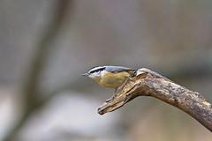 male on photo branch (G_Anderson) Tags: nuthatch missouri winter birding backyard