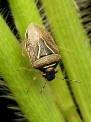 Pretty Stinkbug (treegrow) Tags: rockcreekpark washingtondc nature lifeonearth raynoxdcr250 arthropoda insect hemiptera heteroptera pentatomidae mormidealugens