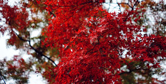Japanese fire red leaves (KaeriRin) Tags: sony sony7m2 sonyalpha 28mm20 28mm japan japanese castle temple autumn red green building structure leaves tourism travel sightseeing