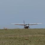 Airplane landing in Masai Mara; Thomson's gazelle grazing near runway thumbnail