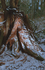 Stump and Snow (jvde) Tags: 3570mmf3345nikkor burnaby coolscan film fujicolor400 gimp nikonfe snow