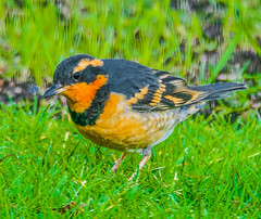 Varied Thrush--DSC9737--Port Orford, OR (Lance & Cromwell back from a Road Trip) Tags: birds thrush variedthrush lawn lawnbirds portorford currycounty oregon oregoncoast wildlife sony sonyalpha a57 tamron 150600mm tamron150600mmg2