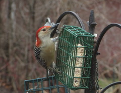 Male Red-bellied Woodpecker IMG_0812 (Ted_Roger_Karson) Tags: birds bird feeder woodpecker redbellied back yard friends backyard northern illinois canon sx280 hs powershot miniature compact pocket camera male seed cake zoom animals suet telephoto thisisexcellent twop test photo hand held minicompact food bell downy hairy redbelliedwoodpecker hairywoodpecker illinoisnorthern canonpowershotsx280hs
