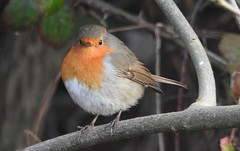 Little Round Robin (blue33hibiscus) Tags: bird songbird robin langfordlakes naturereserve wiltshire