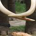 Elephant Tusks (IMG_2837b)