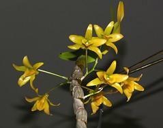 Dendrobium friedericksianum species orchid, 1st bloom  3-19* (nolehace) Tags: winter flower bloom plant nolehace sanfrancisco fz1000 319 dendrobium friedericksianum species orchid 1st