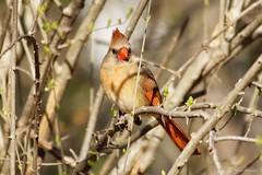 Female Northern Cardinal (Anne Ahearne) Tags: wild bird animal nature wildlife pretty songbird birdwatching branches cardinal northerncardinal