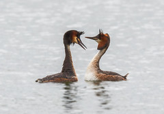 Great Crested Grebe courtship display on a silvery surface (Iand49) Tags: greatcrestedgrebe bird feather grebe predator hunter carnivore fisheater aquatic diver waterfowl pair couple podicepscristatus courtship display pairbonding water silver marsworth tringreservoirs buckinghamshire england europe beautiful elegant nature wildlife lovelybirds fauna naturalhistory avian outdoors ornithology sleek streamlined exotic stunning spectacular blackcrest whitefront orangecheeks pointedbill swimming floating afloat