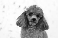 Tina-LR-DSC_2785-2 (studiofuntas) Tags: プードル トイプードル ティーカッププードル poodle toypoodle teacuppoodle モノクローム monochrome 犬 dog pet ペット ロケーション撮影 リクエスト撮影 locationphoto locationshooting
