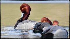 Redhead series (RKop) Tags: redhead duck springgrovecemetery cincinnati ohio raphaelkopanphotography d500 600mmf4evr 14xtciii nikon