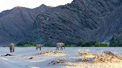 Desert-Adapted Elephants head towards the Hoanib River Bed for the evening (Trouvaille Blue) Tags: africa namibia kunene elephants trouvailleblue hoanibriver hoanib desertadaptedelephants