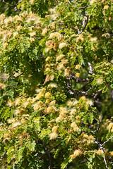 IMG_8438 (jaglazier) Tags: 121318 2018 chile december deciduoustrees easterisland ranokau trees copyright2018jamesaglazier floweringtrees mimosa valparaisoregion