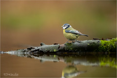 Blue Tit (Gertj123) Tags: bird avian animal arjantroost hide holterberg netherlands nature bokeh water reflection canon