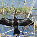 Anhinga bird Viera Wetlands - Melbourne Florida