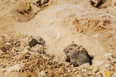 Mr Rat, living on the banks of a lake in Jaipur. India (.stuart hamilton) Tags: rat rats mammal rodent hole dirt brown rattus ears land terrain animal cute