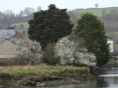Spring is on the way (Phil Gayton) Tags: water meadow grass tree blossom river dart totnes devon uk blackthorn