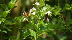 2019-02-11_12-38-13_ILCE-7M2_DSC063371_Kiri (Miguel Discart (Photos Vrac)) Tags: 2019 240mm animal animalphotography animals animalsupclose animaux butterfly chiangmai fe24240mmf3563oss fleurs flowers focallength240mm focallengthin35mmformat240mm holiday ilce7m2 iso200 nature naturephotography papillon pet sony sonyilce7m2 sonyilce7m2fe24240mmf3563oss thailand thailande travel vacances voyage