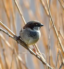 Norfolk Feb 2019 Tree Sparrow