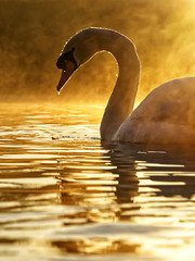 Enveloped in Gold (Mark Buchan Jones) Tags: daisynook countrypark crimelake failsworth manchester uk oldham swan sunrise lowpointofview backlight mist cygnusolor muteswan water lake