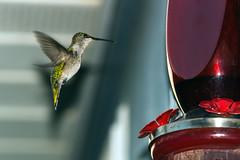 Hummingbird 5342 Aug 16 2015_edited-1 (bdcoen) Tags: hummingbird bird feeder nectar green homewood illinois unitedstates