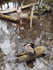 Update (EcoSnake) Tags: geese canadageese injury winter march wildlife waterfowl idahofishandgamenature center