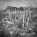 Saguaro at Signal Hill